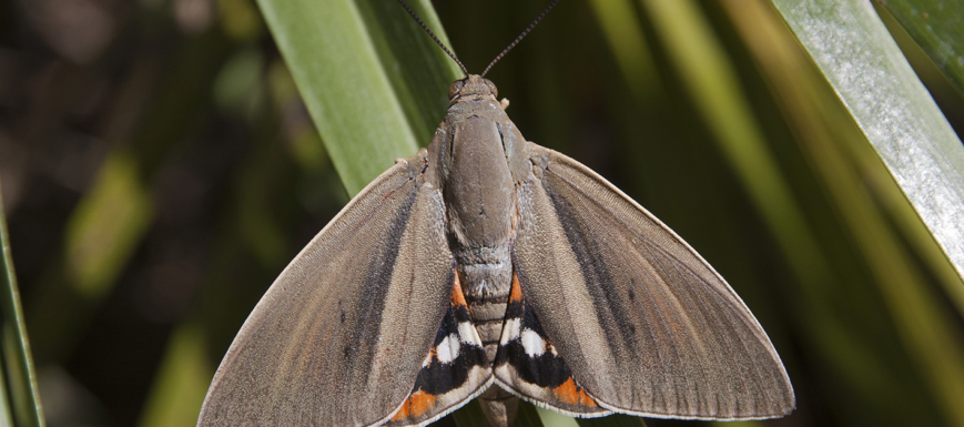 Paysandisia_Archon_mariposa_nociva